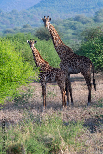 Giraffe animals in safari - Tanzania Wallpaper Mural