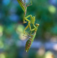 Two Big Green Praying Mantis On A Branch, Close Up