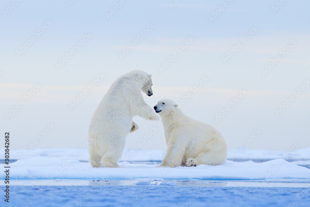 Fototapeta Polar bear dancing on the ice. Two Polar bears love on drifting ice with snow, white animals in the nature habitat, Svalbard, Norway. Animals playing in snow, Arctic wildlife. Funny image from nature.