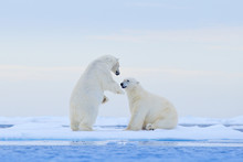 Polar Bear Dancing On The Ice....