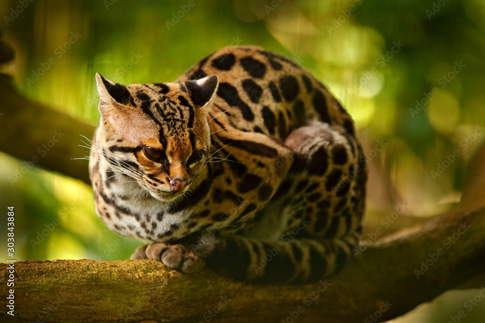 Fototapeta Wildlife in Costa Rica. Nice cat margay sitting on the branch in the costarican tropical forest. Detail portrait of ocelot, nice cat margay in tropical forest. Animal in the nature habitat.