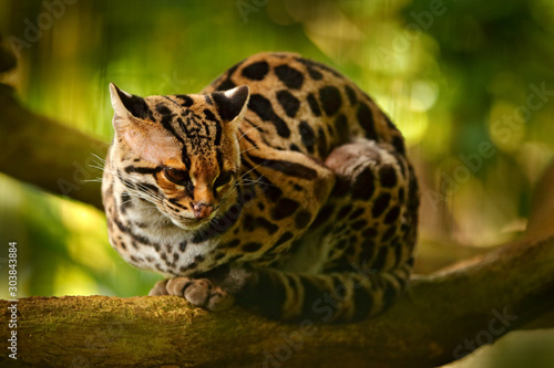 Obraz Wildlife in Costa Rica. Nice cat margay sitting on the branch in the costarican tropical forest. Detail portrait of ocelot, nice cat margay in tropical forest. Animal in the nature habitat. - fototapety do salonu