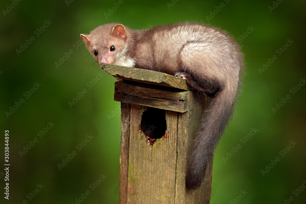 Nest wooden box, in the forest with predator, cute forest animal Beech marten, Martes foina, with clear green background. Birdhouse with marten, wildlife behavour in the wild nature.