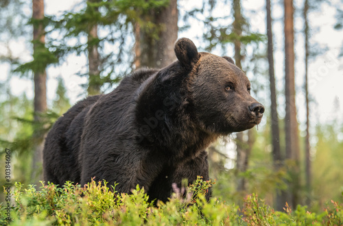 Adult Male of Brown bear in the forest. Scientific name: Ursus arctos. Natural habitat. #303846067