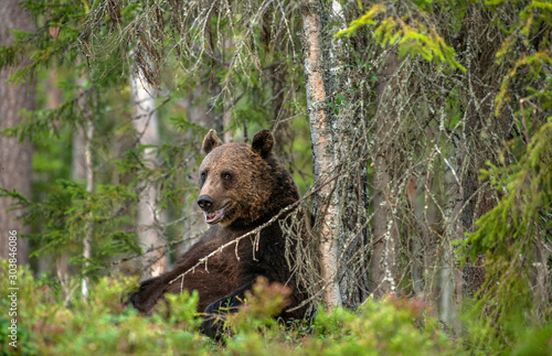 Bear sits by a tree. Adult Male of Brown bear in the forest. Scientific name: Ursus arctos. Natural habitat. #303846086