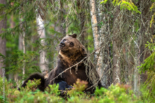 Bear shakes off. Adult Male of Brown bear in the forest. Scientific name: Ursus arctos. Natural habitat. #303846213