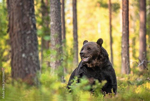 Adult Male of Brown bear in the forest. Scientific name: Ursus arctos. Natural habitat. #303846217