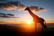 The Silhouette Of Two Giraffes...