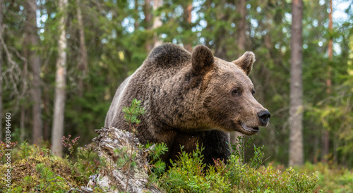 Adult Male of Brown bear in the forest. Scientific name: Ursus arctos. Natural habitat. #303846460