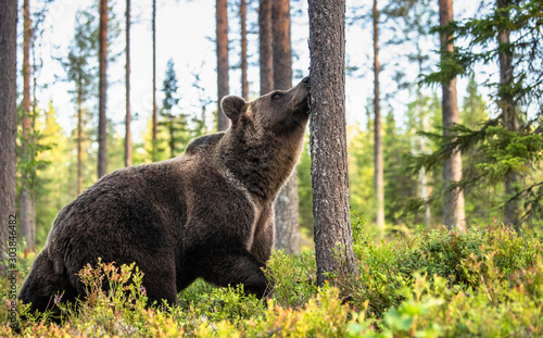 The bear sniffs a tree. Brown bear in the autumn pine forest. Scientific name: Ursus arctos. Natural habitat. Autumn season. #303846482