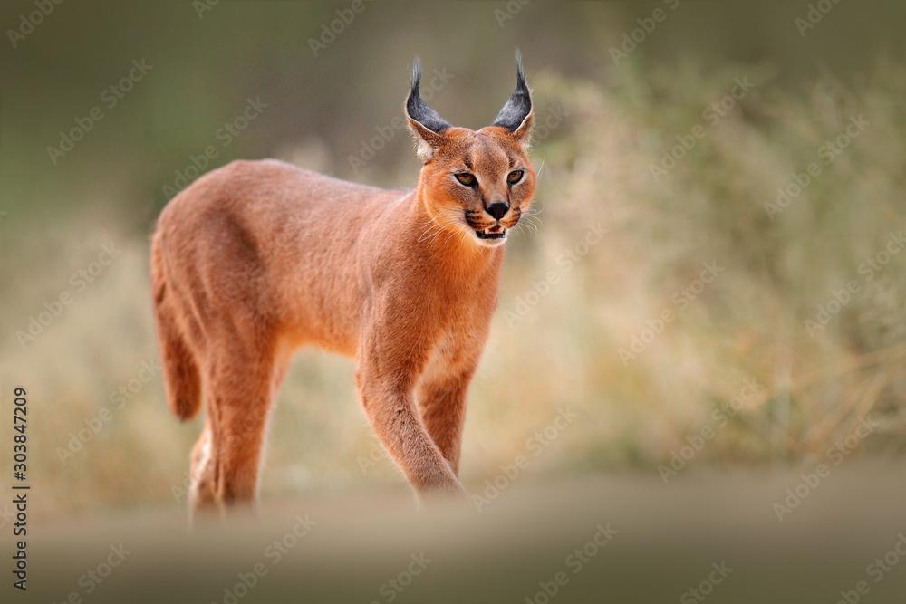 Fototapeta Caracal, African lynx, in dry sand desert. Beautiful wild cat in nature habitat, Kgalagadi, Botswana, South Africa. Animal face to face walking on gravel, Felis caracal. Wildlife scene from nature.
