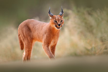 Caracal, African Lynx, In Dry ...