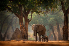 Elephant With Young Baby.  Ele...