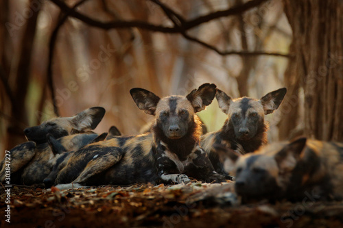 Vászonkép Wild dog, pack relaxation in the forest, Mana Pools, Zimbabwe in Africa