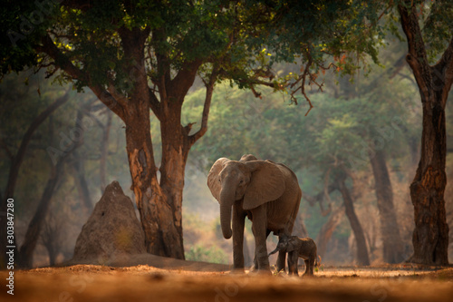elephant-with-young-baby-elephant-at-mana-pools-np-zimbabwe-in-africa-big-animal-in-the-old-forest-evening-light-sun-set-magic-wildlife-scene-in-nature-african-elephant-in-beautiful-habitat