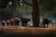 canvas print picture - Herd of African Buffalo, Cyncerus cafer, in the dark forest, Mana Pools, Zimbabwe in Africa. Wildlife scene from Africa nature. Big animal in the habitat.