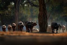 Herd Of African Buffalo, Cynce...