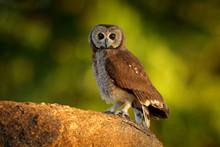 Marsh Owl, Asio Capensis, Lake Kariba, Zimbabwe. Bird Siting On The Stone In Green Vegetation, Evening Light. Owl In The Habitat. Wildlife Scene From Africa Nature.  Birdwatching In Zimbabwe.