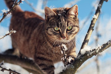 Young Tabby Cat In Winter On Snowy Branch Tree, Sunny Day