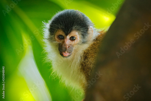 Monkey in the tropic forest vegetation. Animal, long tail in tropic forest. Squirrel monkey, Saimiri oerstedii, sitting on the tree trunk with green leaves, Corcovado NP, Costa Rica.