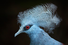 Western Crowned Pigeon, Goura Cristata, Detail Portrait In E Lowland Rainforests Of New Guinea, Asia. Blue Bird With Red Eye, Dark Forest In The Background, Close-up. Wildlife Scene From Nature.