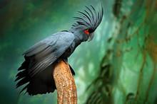 Grey Parrot With Crest. Detail Portrait Of Dark Parrot Palm Cockatoo, Probosciger Aterrimus, Talon In The Bill, New Guinea. Head Of Big Grey Bird. Wildlife Scene From New Guinea, Nature Habitat.