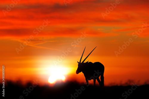 Foto auf AluDibond Rot Oryx with orange sand dune evening sunset. Gemsbock large antelope in nature habitat, Sossusvlei, Namibia. Wild desert. Gazella beautiful iconic gemsbok antelope from Namib desert, sunrise Namibia.