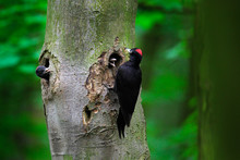 Woodpecker With Chick In The Nesting Hole. Black Woodpecker In The Green Summer Forest. Wildlife Scene With Black Bird In The Nature Habitat.