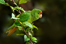 Crimson-fronted Parakeet, Aratinga Finschi, Portrait Of Light Green Parrot With Red Head, Colombia. Wildlife Scene From Tropical Nature. Bird In The Habitat. Parrot Cleaning Tail Plumage Feather.