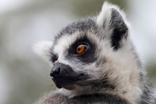 Ring Tailed Lemur On Branch Of...