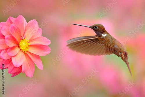Fototapeta Bird with pink flower. Hummingbird Brown Inca, Coeligena wilsoni, flying next to beautiful pink bloom, Colombia. Bird in the blooming garden. Wildlife scene from nature. Animal in the tropic forest. obraz
