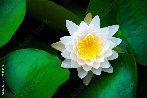Fotomural closeup beautiful lotus flower and green leaf in pond, purity nature background,