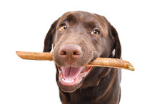 Portrait Of A Funny Labrador Puppy With A Stick In His Teeth Isolated On White Background