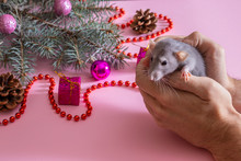Blue Spruce On A Green Background With Christmas Toys. Gray Rat In The Hands Of A Young Man. Symbol Of The New Year