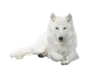 Polar Wolf  Isolated On White