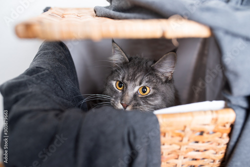 young blue tabby white maine coon cat hiding inside of laundry basket looking ou Fototapet