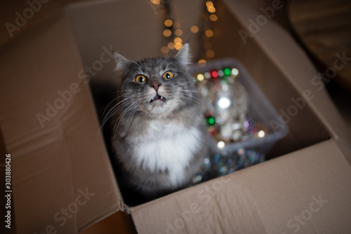 Tuinposter Kat curious young blue tabby white maine coon cat sitting in cardboard box with christmas decoration looking at camera making funny face