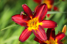Close Up Red And Yellow Day Li...