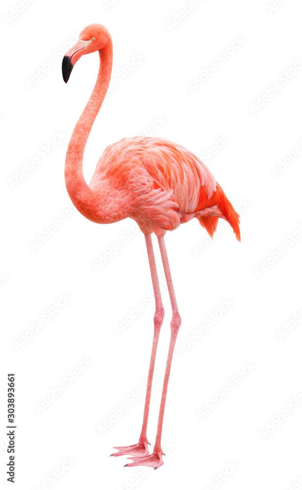 Fototapety, obrazy: Bird flamingo on a white background