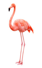 Bird Flamingo On A White Backg...