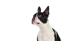 Portrait In Studio Of A Cute Boston Terrier