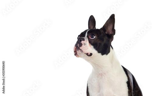 Obraz Portrait in Studio of a cute boston terrier - fototapety do salonu