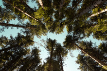 Upward View Of Trees In The Wo...