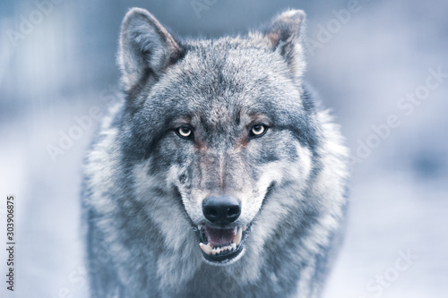 Photo Scary dark gray wolf (Canis lupus)