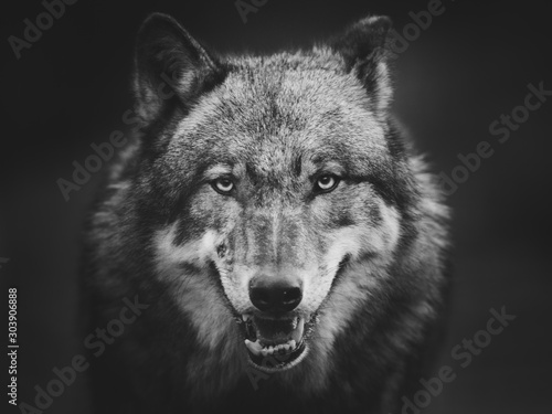 Scary dark gray wolf (Canis lupus) Canvas Print