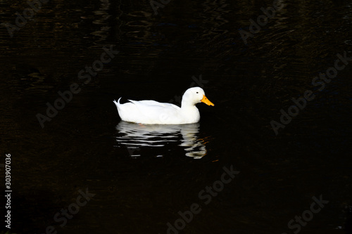 Isolated White Peking Duck Swimming Canvas Print