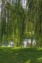Leaves Of A Weeping Willow Tre...