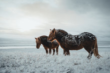 Icelandic Horses Are Very Uniq...