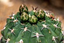 Close-up Of Globular Cactus Sp...