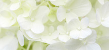 White Hydrangea Flowers Panoramic Border, Banner, Wedding Romantic Background. Flat Lay.